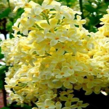 50 Yellow Lilac Seeds Bloom Perennial Flowers Fragrant Seed